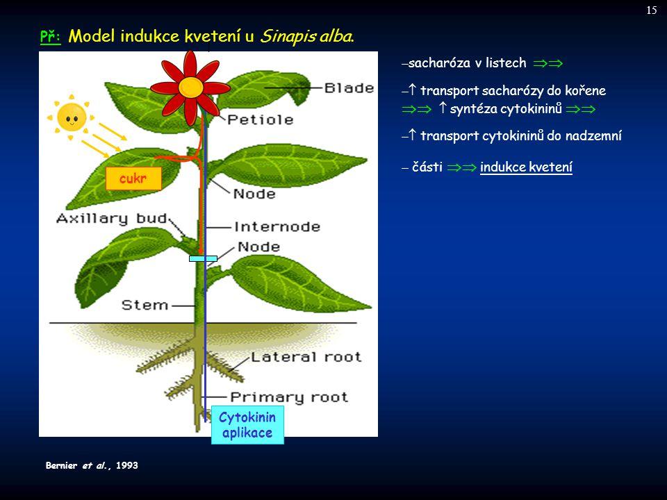 cukr Př: Př: Model indukce kvetení u Sinapis alba.  sacharóza v listech   transport sacharózy do kořene   syntéza cytokininů   transport c