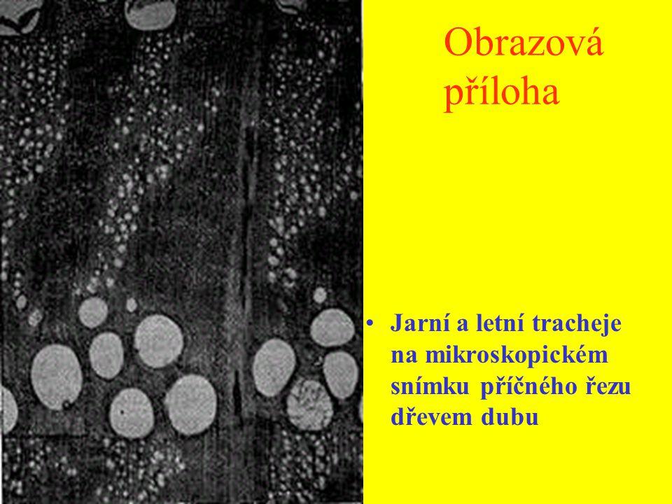 Obrazová příloha Trachej na mikroskopickém snímku, okolo libriform a parenchymatické buňky.