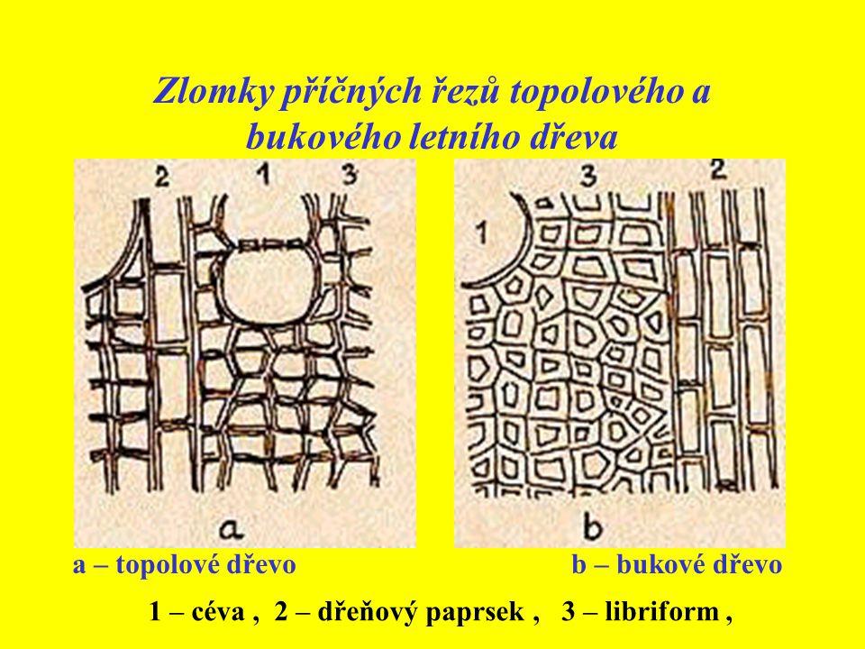 Zlomky příčných řezů topolového a bukového letního dřeva a – topolové dřevob – bukové dřevo 1 – céva, 2 – dřeňový paprsek, 3 – libriform,