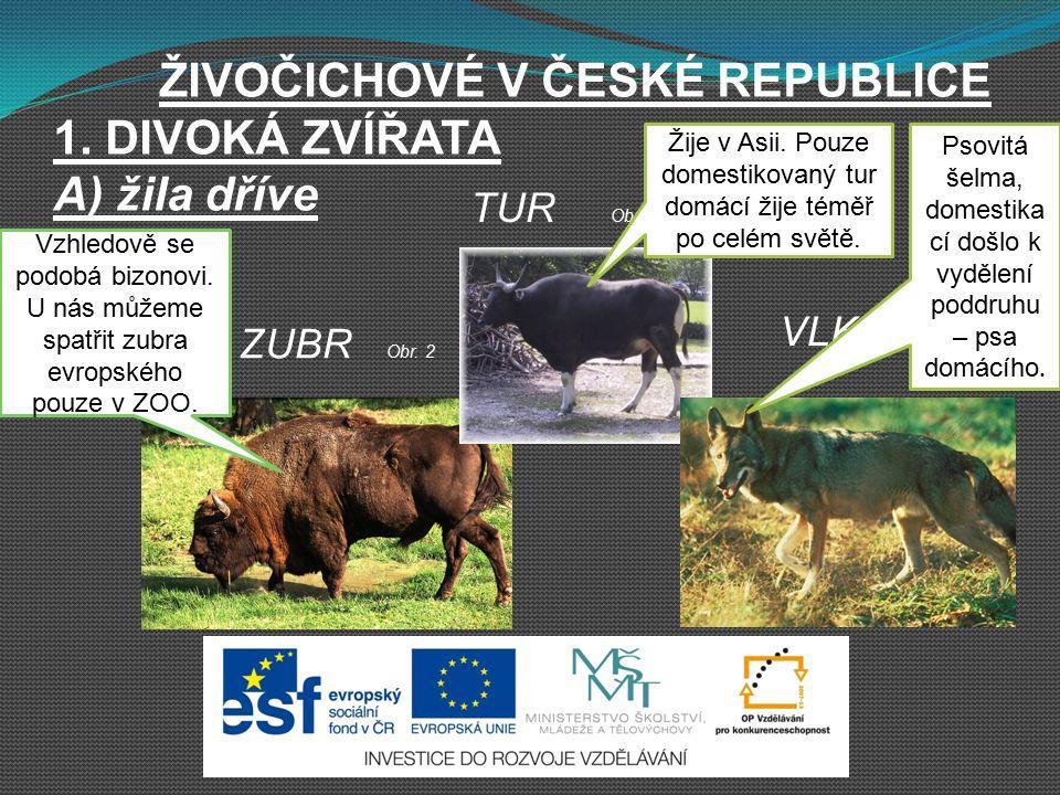 ŽIVOČICHOVÉ V ČESKÉ REPUBLICE 1. DIVOKÁ ZVÍŘATA A) žila dříve ZUBR Obr. 2 TUR Obr. 3 VLK Obr. 4 Vzhledově se podobá bizonovi. U nás můžeme spatřit zub