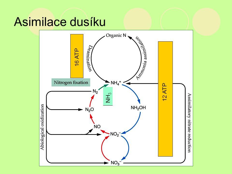 Asimilace dusíku 12 ATP NH 3 16 ATP
