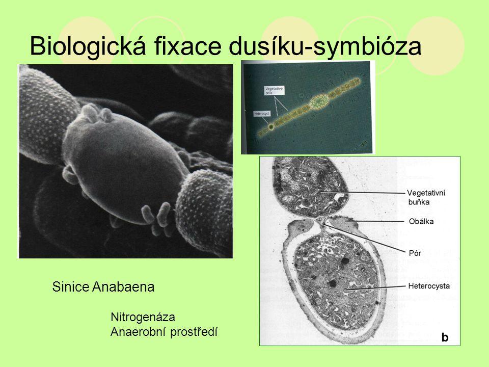 Biologická fixace dusíku-symbióza Nitrogenáza Anaerobní prostředí Sinice Anabaena