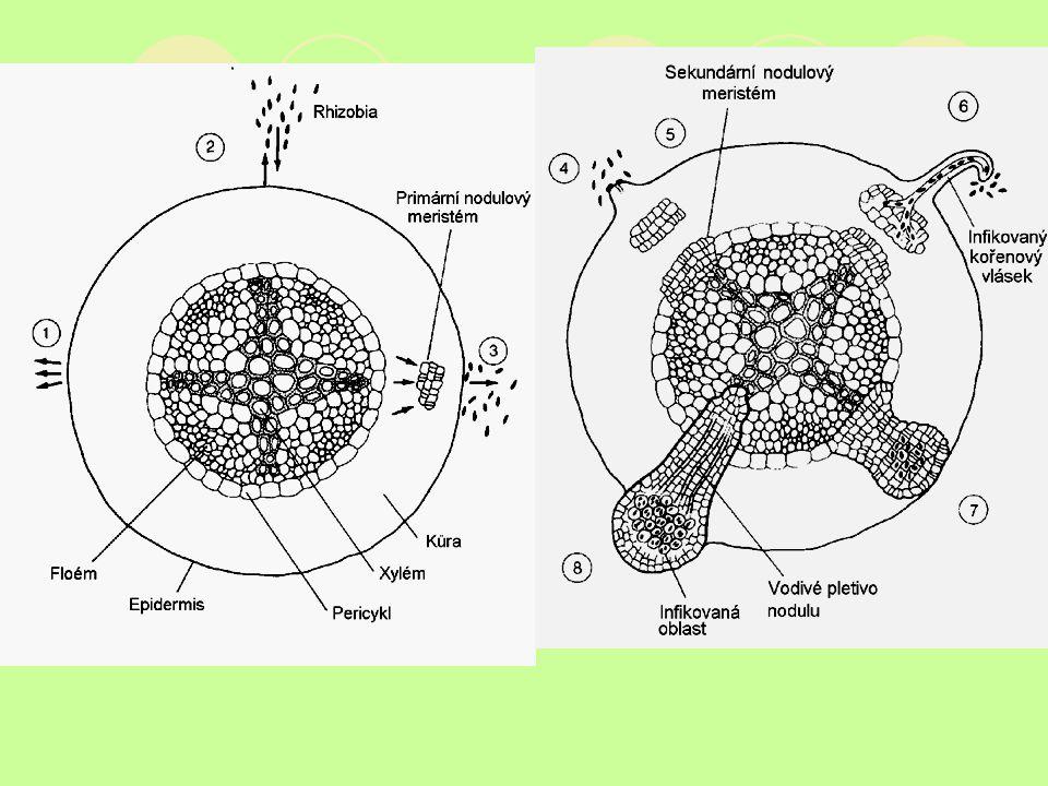 Pronikání Rhizobia do kořene Signály- fenoly