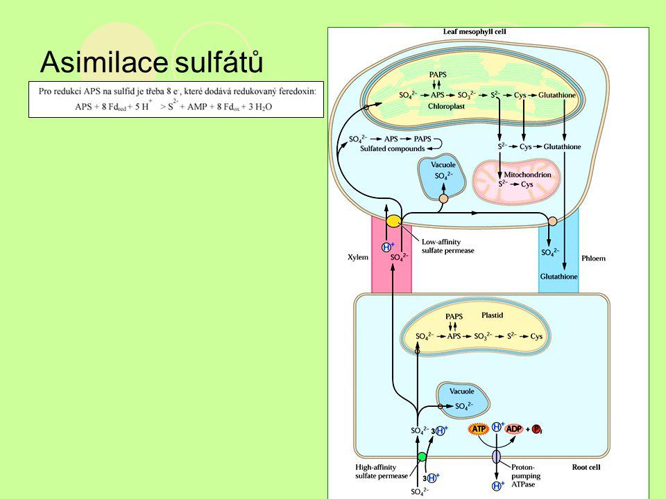 Asimilace sulfátů