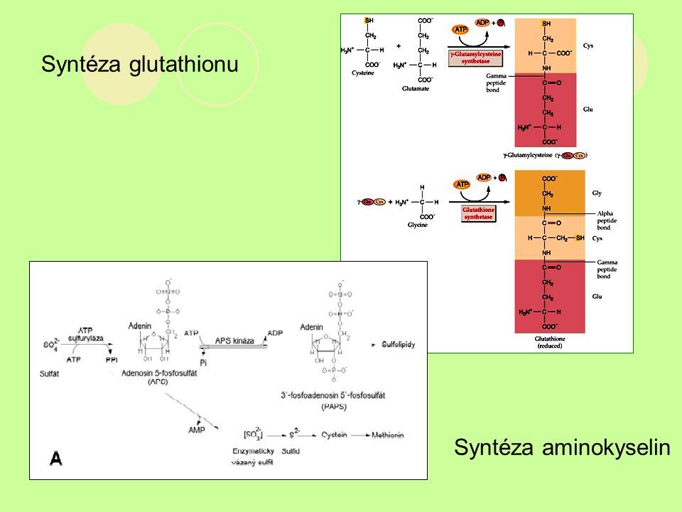Syntéza glutathionu Syntéza aminokyselin