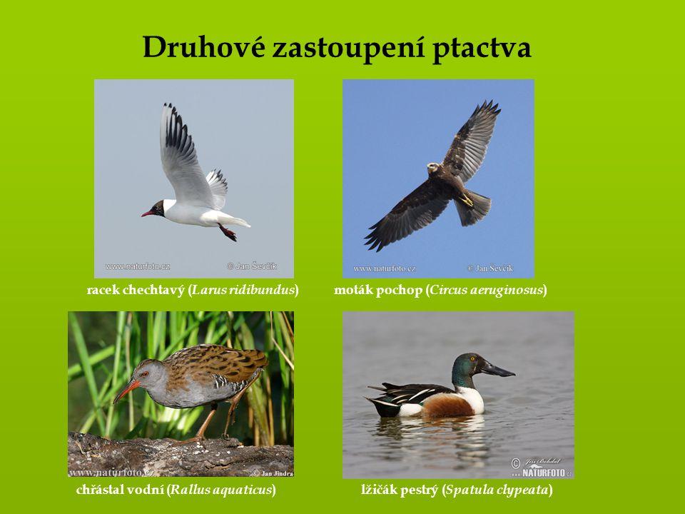 Druhové zastoupení ptactva racek chechtavý ( Larus ridibundus ) moták pochop ( Circus aeruginosus ) chřástal vodní ( Rallus aquaticus )lžičák pestrý (
