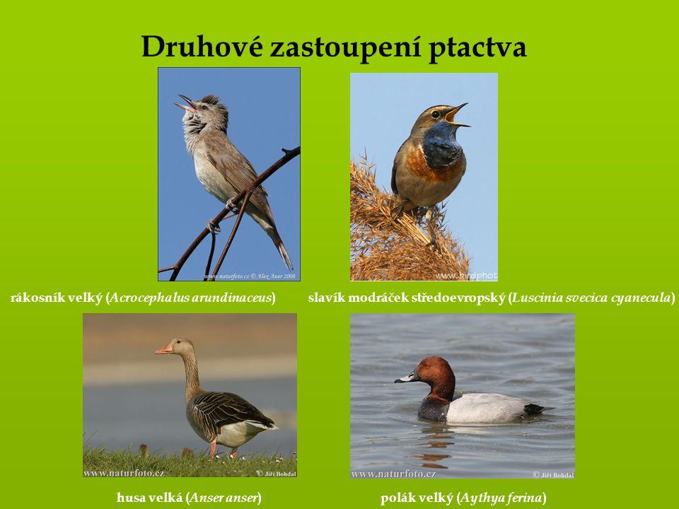 Druhové zastoupení ptactva rákosník velký ( Acrocephalus arundinaceus )slavík modráček středoevropský ( Luscinia svecica cyanecula ) husa velká ( Anse