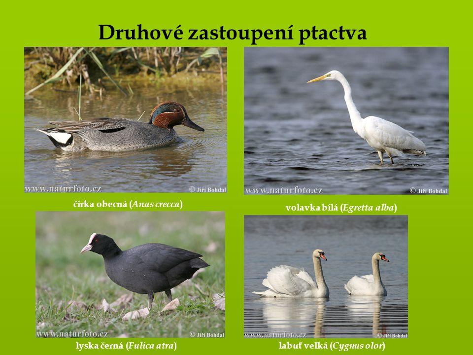 Druhové zastoupení ptactva čírka obecná ( Anas crecca ) volavka bílá ( Egretta alba ) lyska černá ( Fulica atra ) labuť velká ( Cygnus olor )