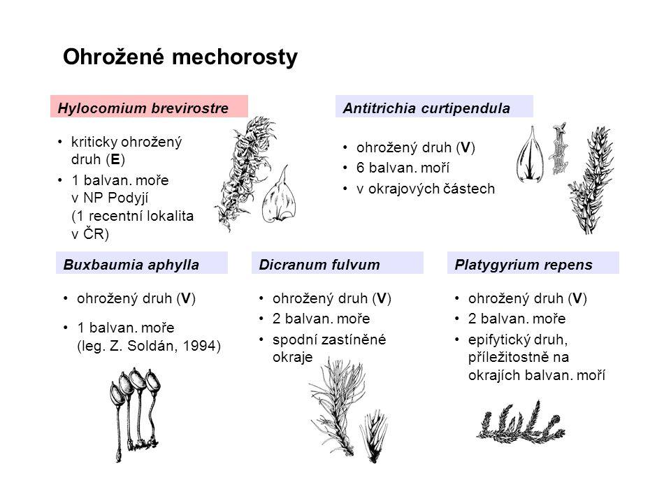 Ohrožené mechorosty Hylocomium brevirostreAntitrichia curtipendula Buxbaumia aphyllaPlatygyrium repens kriticky ohrožený druh (E) 1 balvan. moře v NP