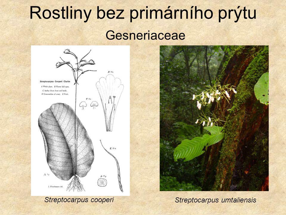 Rostliny bez primárního prýtu Podostemaceae Rhyncholacis penicillata Marathrum schiedianum Tristicha alternifolia