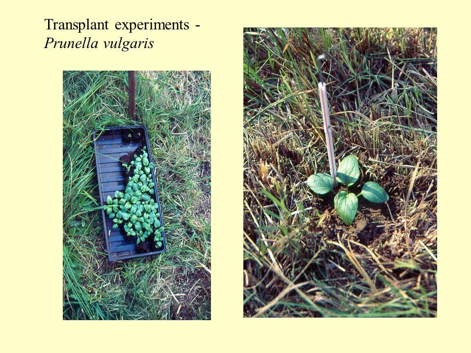 Transplant experiments - Prunella vulgaris