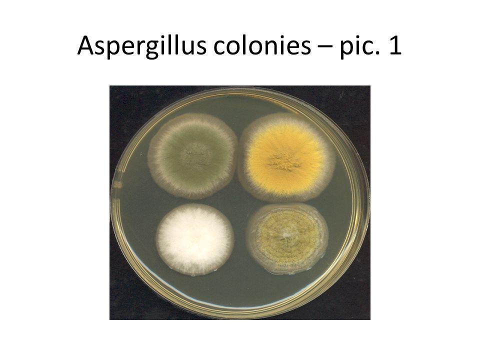 Aspergillus colonies – pic. 1