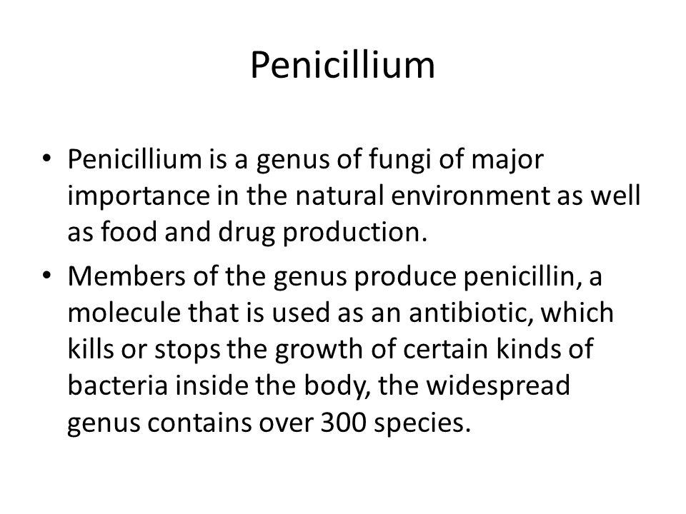 Penicillium under microscopy – pic.2