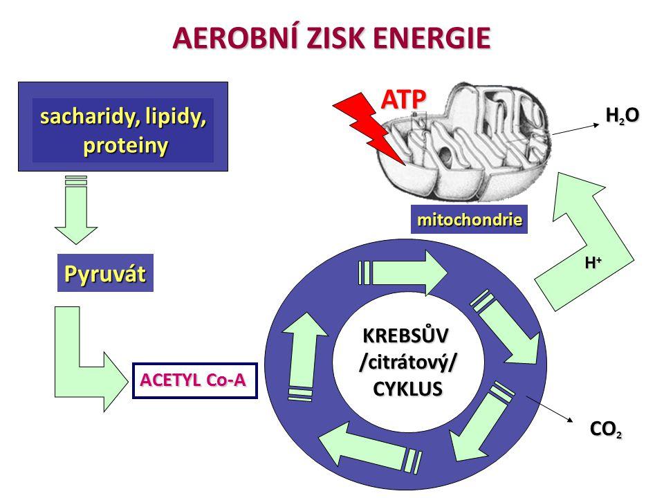 AEROBNÍ ZISK ENERGIE sacharidy, lipidy, proteiny proteiny Pyruvát KREBSŮV/citrátový/CYKLUS mitochondrie ATP H2OH2OH2OH2O ACETYL Co-A H+H+H+H+ CO 2