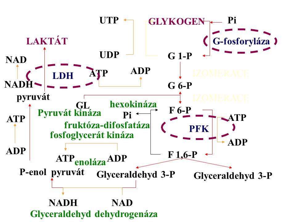 UTP GLYKOGEN Pi UDP G 1-P G-fosforyláza G 6-P ADP ATPIZOMERACE GL hexokináza F 6-P F 1,6-P Glyceraldehyd 3-P IZOMERACE PFK ADP ATP Pi fruktóza-difosfa