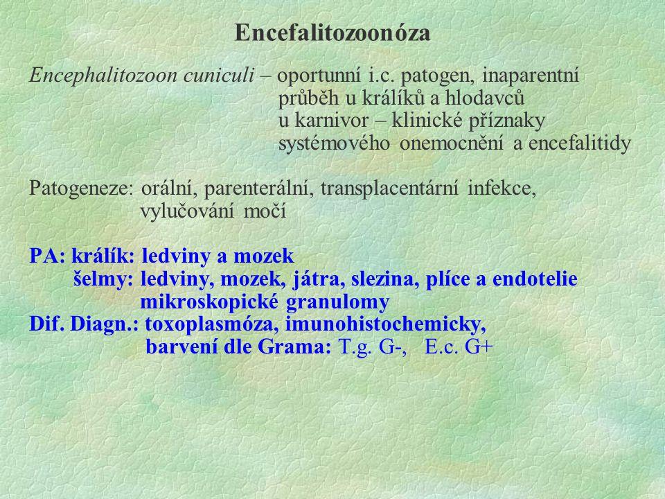 Encefalitozoonóza Encephalitozoon cuniculi – oportunní i.c. patogen, inaparentní průběh u králíků a hlodavců u karnivor – klinické příznaky systémovéh