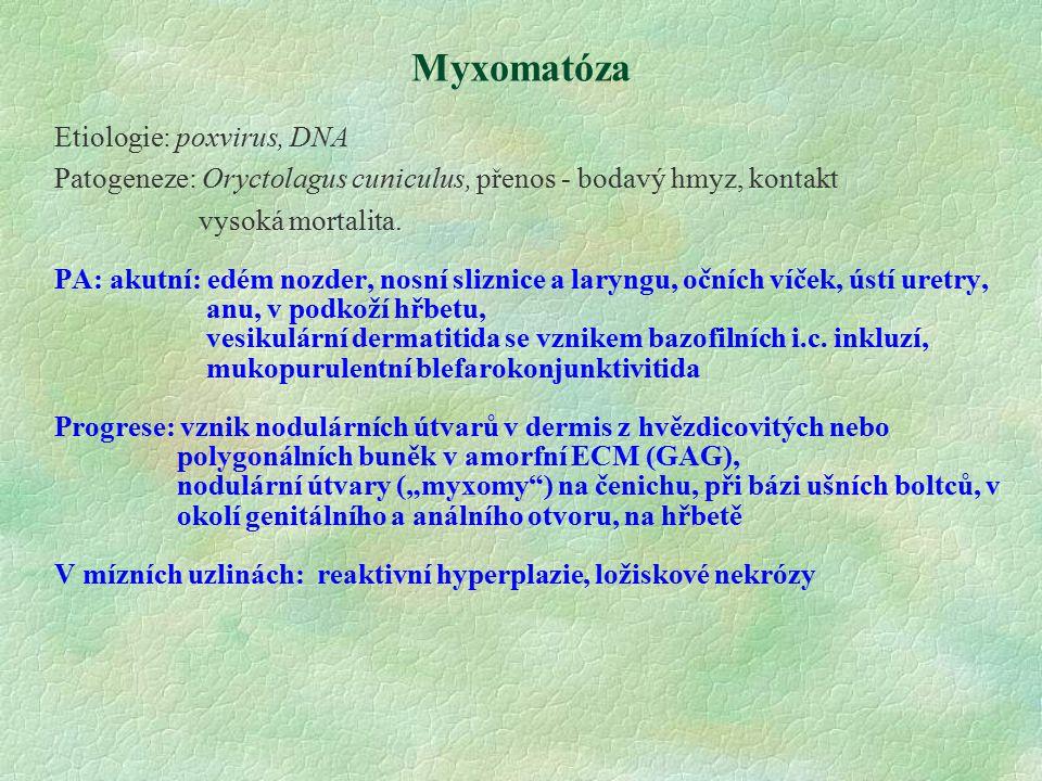 Myxomatóza Etiologie: poxvirus, DNA Patogeneze: Oryctolagus cuniculus, přenos - bodavý hmyz, kontakt vysoká mortalita. PA: akutní: edém nozder, nosní
