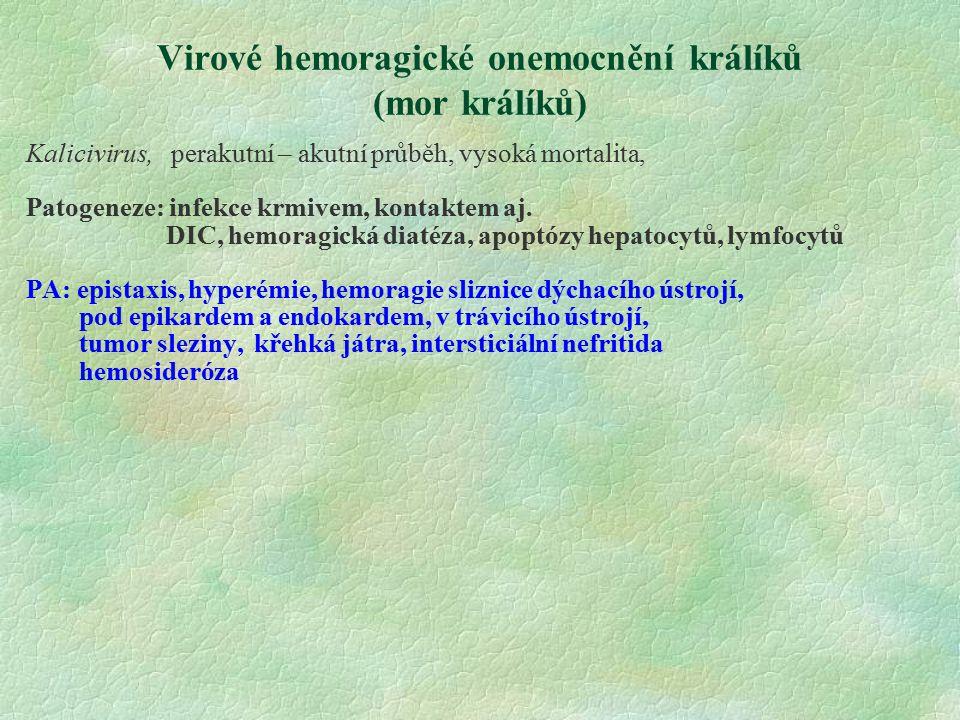 Virové hemoragické onemocnění králíků (mor králíků) Kalicivirus, perakutní – akutní průběh, vysoká mortalita, Patogeneze: infekce krmivem, kontaktem a