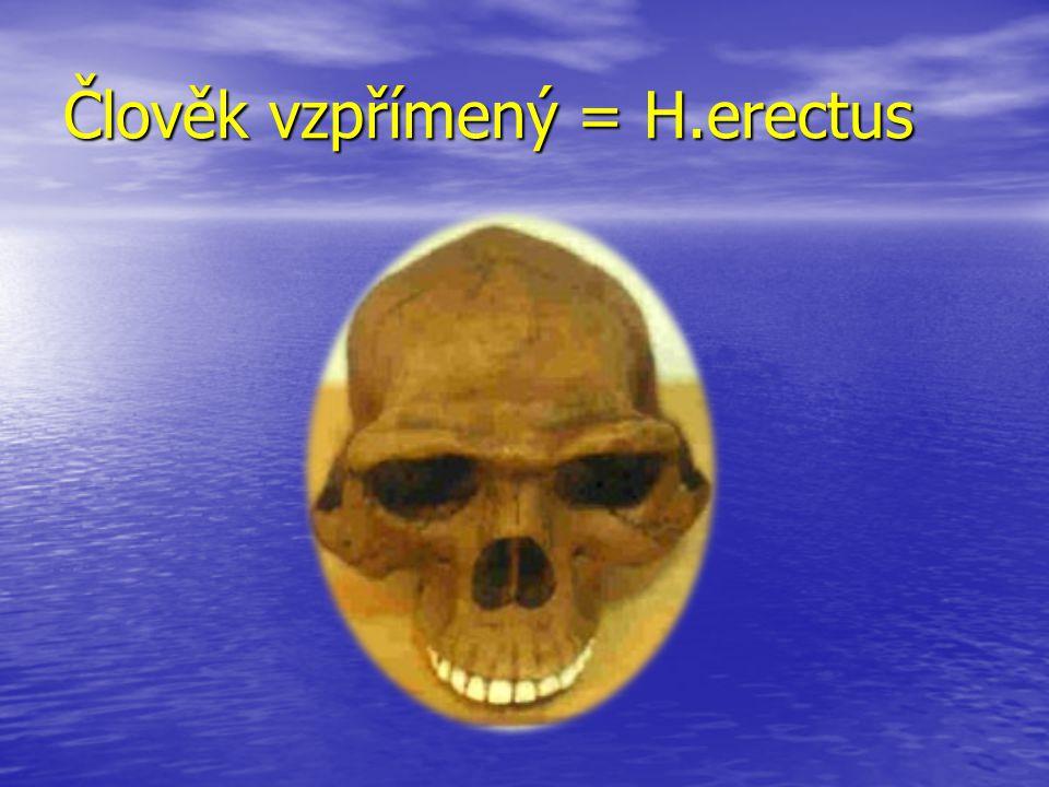 Člověk vzpřímený = H.erectus