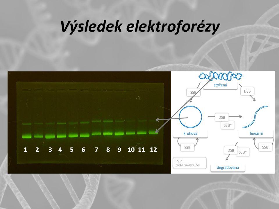 Výsledek elektroforézy 1 2 3 4 5 6 7 8 9 10 11 12