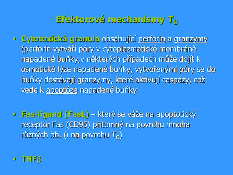 Efektorové mechanismy T C  Cytotoxická granula obsahující perforin a granzymy (perforin vytváří póry v cytoplazmatické membráně napadené buňky,v někt