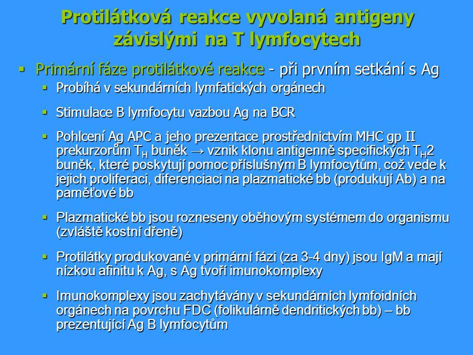 Protilátková reakce vyvolaná antigeny závislými na T lymfocytech  Primární fáze protilátkové reakce - při prvním setkání s Ag  Probíhá v sekundárníc