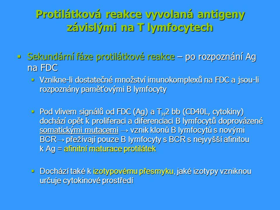 Protilátková reakce vyvolaná antigeny závislými na T lymfocytech  Sekundární fáze protilátkové reakce – po rozpoznání Ag na FDC  Vznikne-li dostateč