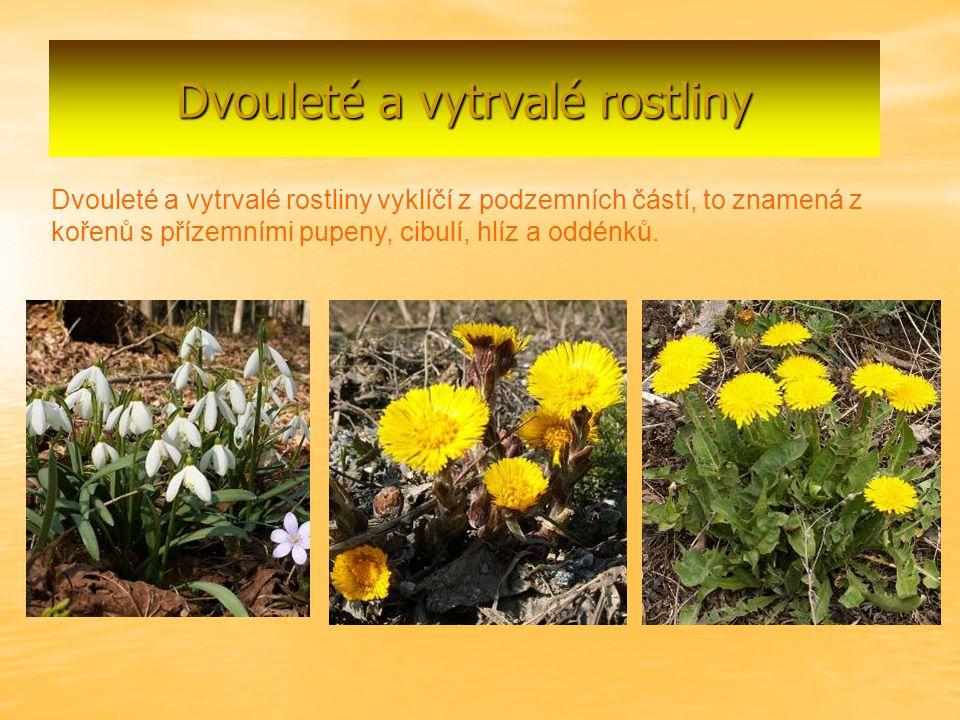 Dvouleté a vytrvalé rostliny Dvouleté a vytrvalé rostliny vyklíčí z podzemních částí, to znamená z kořenů s přízemními pupeny, cibulí, hlíz a oddénků.