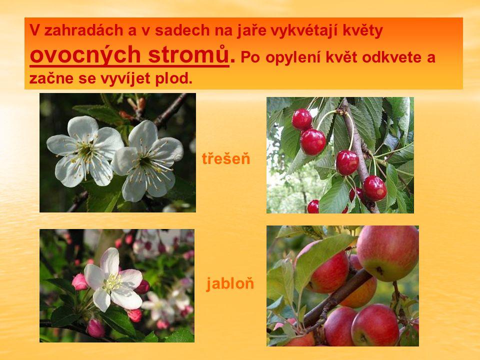 V zahradách a v sadech na jaře vykvétají květy ovocných stromů. Po opylení květ odkvete a začne se vyvíjet plod. třešeň jabloň