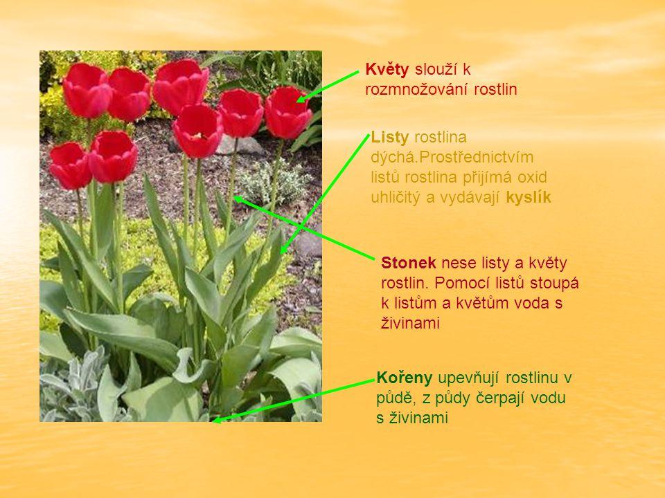 Kořeny upevňují rostlinu v půdě, z půdy čerpají vodu s živinami Stonek nese listy a květy rostlin. Pomocí listů stoupá k listům a květům voda s živina