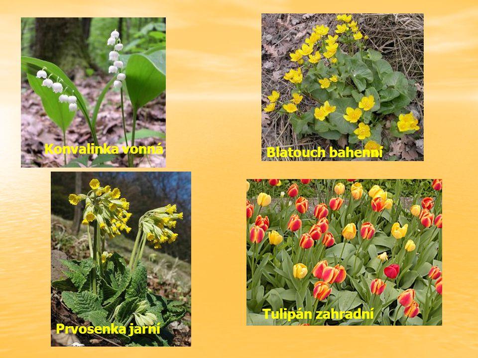 Konvalinka vonná Blatouch bahenní Prvosenka jarní Tulipán zahradní