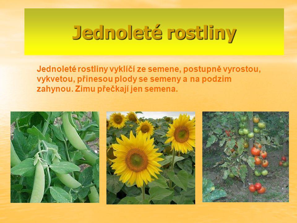 Jednoleté rostliny Jednoleté rostliny vyklíčí ze semene, postupně vyrostou, vykvetou, přinesou plody se semeny a na podzim zahynou. Zimu přečkají jen