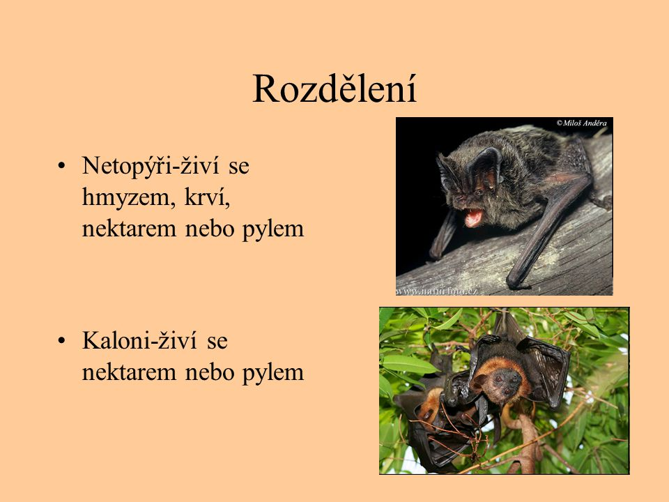 Rozdělení Netopýři-živí se hmyzem, krví, nektarem nebo pylem Kaloni-živí se nektarem nebo pylem