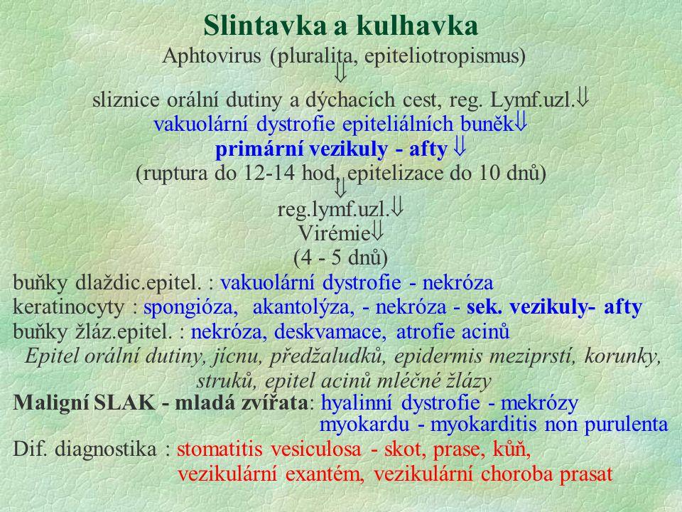Slintavka a kulhavka Aphtovirus (pluralita, epiteliotropismus)  sliznice orální dutiny a dýchacích cest, reg. Lymf.uzl.  vakuolární dystrofie epitel