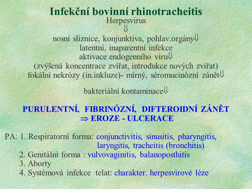 Infekční bovinní rhinotracheitis Herpesvirus  nosní sliznice, konjunktiva, pohlav.orgány  latentní, inaparentní infekce aktivace endogenního viru  (zvýšená koncentrace zvířat, introdukce nových zvířat) fokální nekrózy (in.inkluze)- mírný, séromucinózní zánět  bakteriální kontaminace  PURULENTNÍ, FIBRINÓZNÍ, DIFTEROIDNÍ ZÁNĚT  EROZE - ULCERACE PA: 1.
