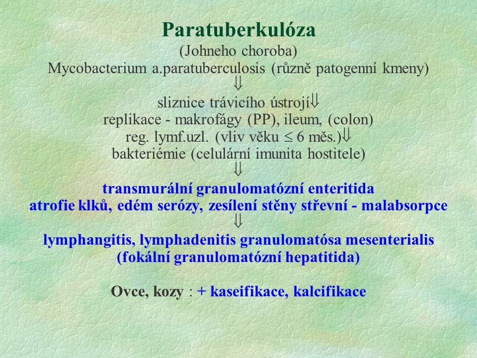 Paratuberkulóza (Johneho choroba) Mycobacterium a.paratuberculosis (různě patogenní kmeny)  sliznice trávicího ústrojí  replikace - makrofágy (PP),