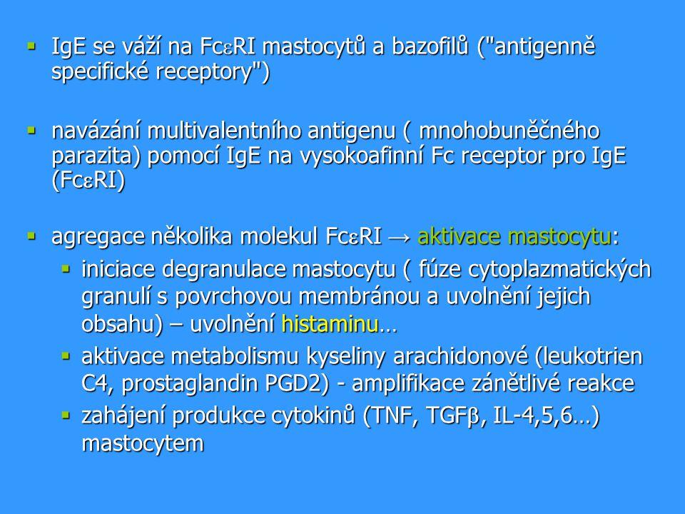  IgE se váží na Fc  RI mastocytů a bazofilů (