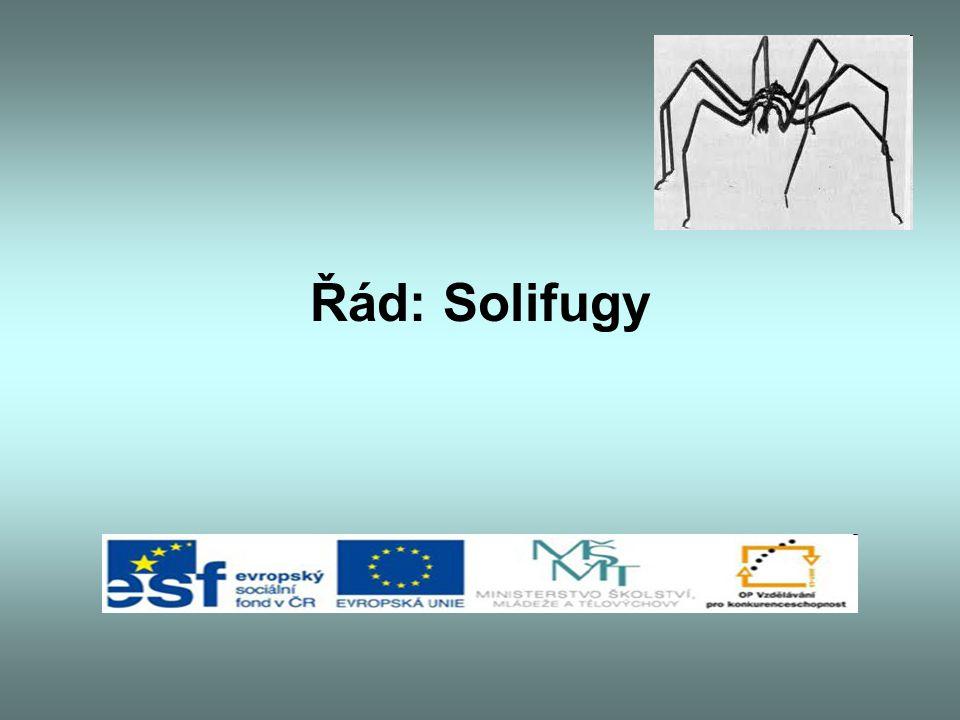 Řád: Solifugy