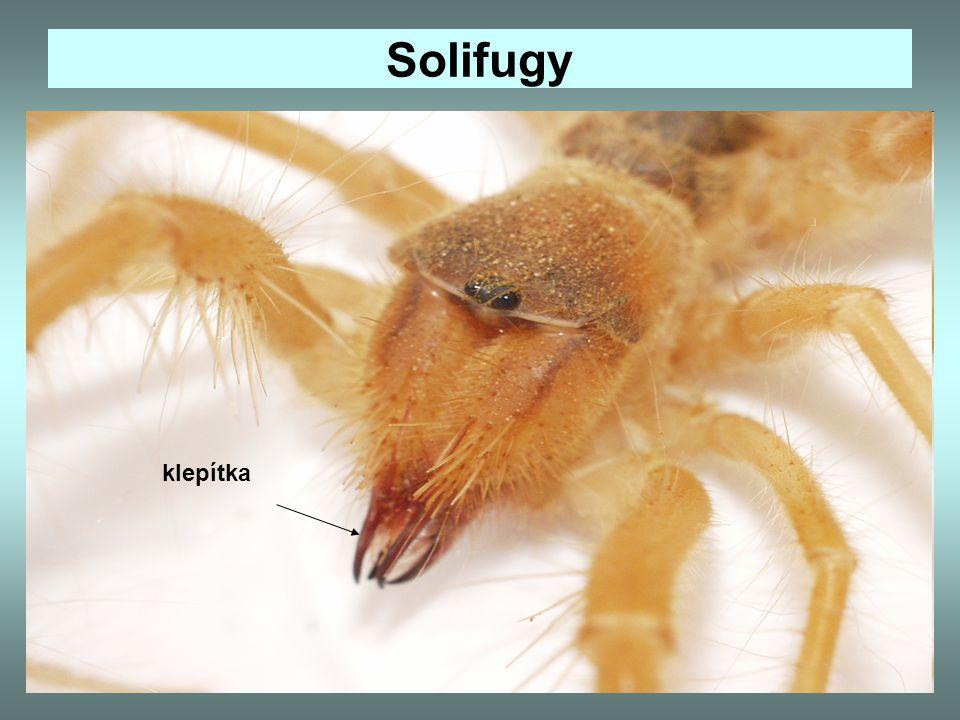 Solifugy Solifuga egejská - žije v jižní Evropě