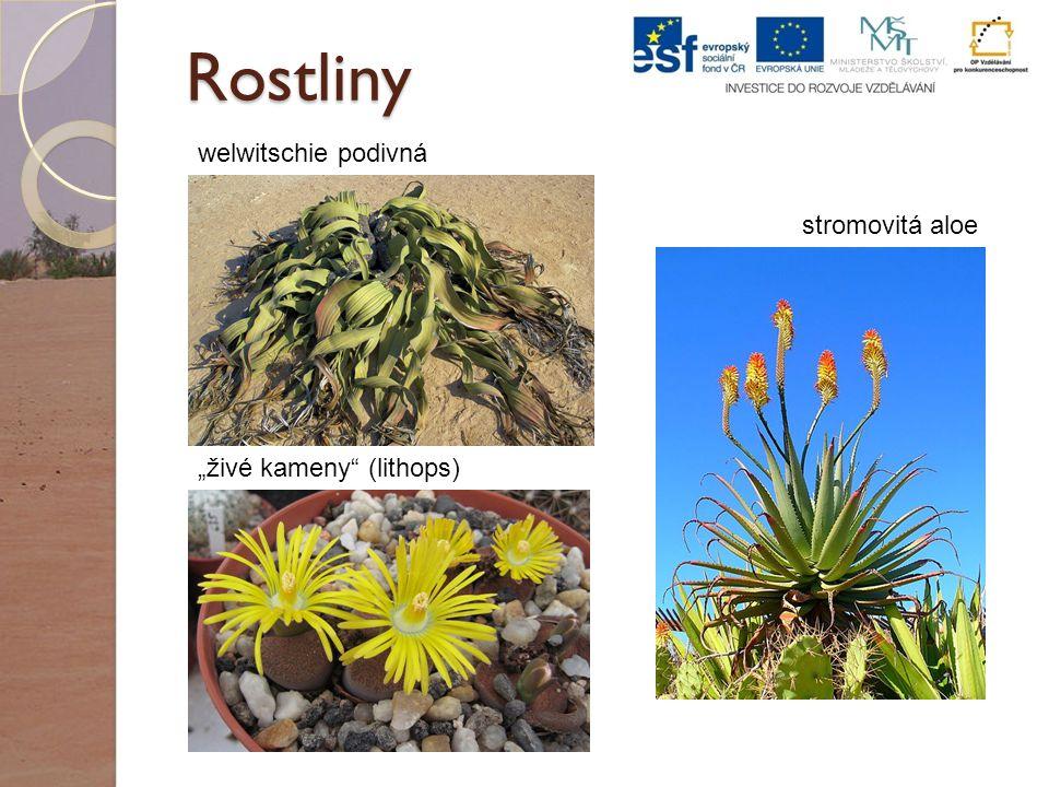 """Rostliny """"živé kameny (lithops) welwitschie podivná stromovitá aloe"""