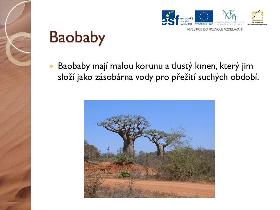 Baobaby Baobaby mají malou korunu a tlustý kmen, který jim složí jako zásobárna vody pro přežití suchých období.