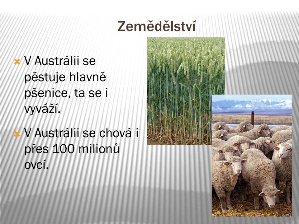 Zemědělství  V Austrálii se pěstuje hlavně pšenice, ta se i vyváží.  V Austrálii se chová i přes 100 milionů ovcí.
