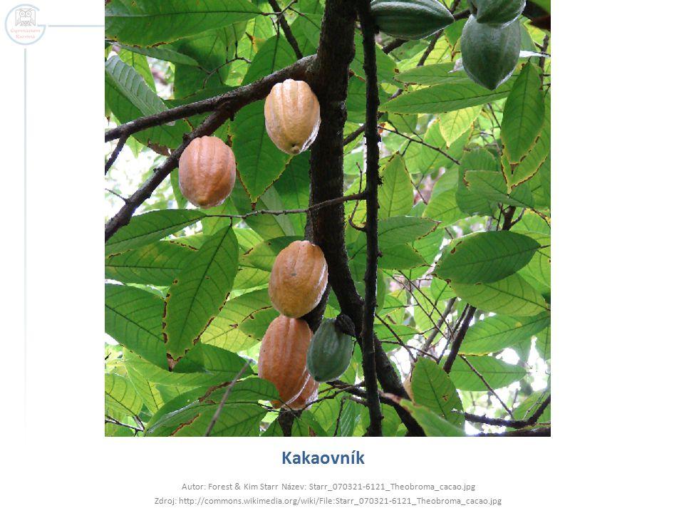 Kakaovník Autor: Forest & Kim Starr Název: Starr_070321-6121_Theobroma_cacao.jpg Zdroj: http://commons.wikimedia.org/wiki/File:Starr_070321-6121_Theobroma_cacao.jpg