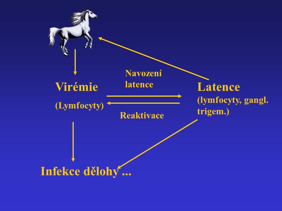 Virémie (Lymfocyty) Infekce dělohy... Latence (lymfocyty, gangl. trigem.) Navození latence Reaktivace