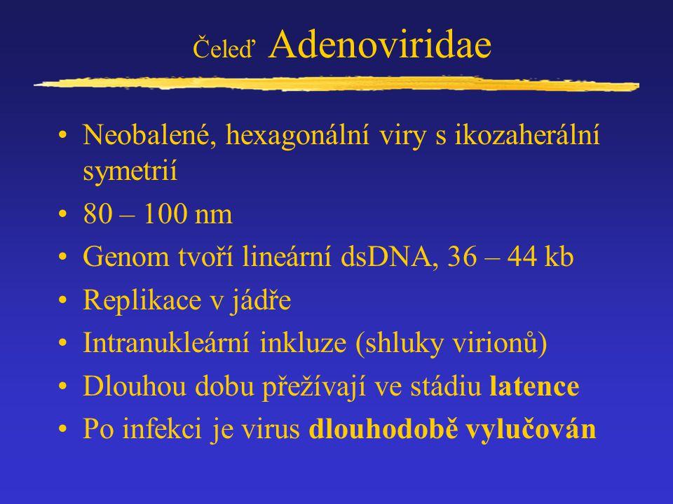 Čeleď Adenoviridae Neobalené, hexagonální viry s ikozaherální symetrií 80 – 100 nm Genom tvoří lineární dsDNA, 36 – 44 kb Replikace v jádře Intranukle