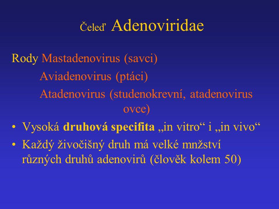 """Čeleď Adenoviridae Rody Mastadenovirus (savci) Aviadenovirus (ptáci) Atadenovirus (studenokrevní, atadenovirus ovce) Vysoká druhová specifita """"in vitr"""
