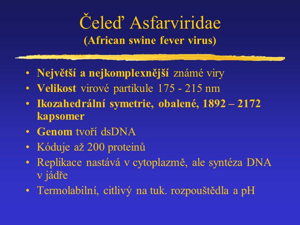 Čeleď Asfarviridae (African swine fever virus) Největší a nejkomplexnější známé viry Velikost virové partikule 175 - 215 nm Ikozahedrální symetrie, ob