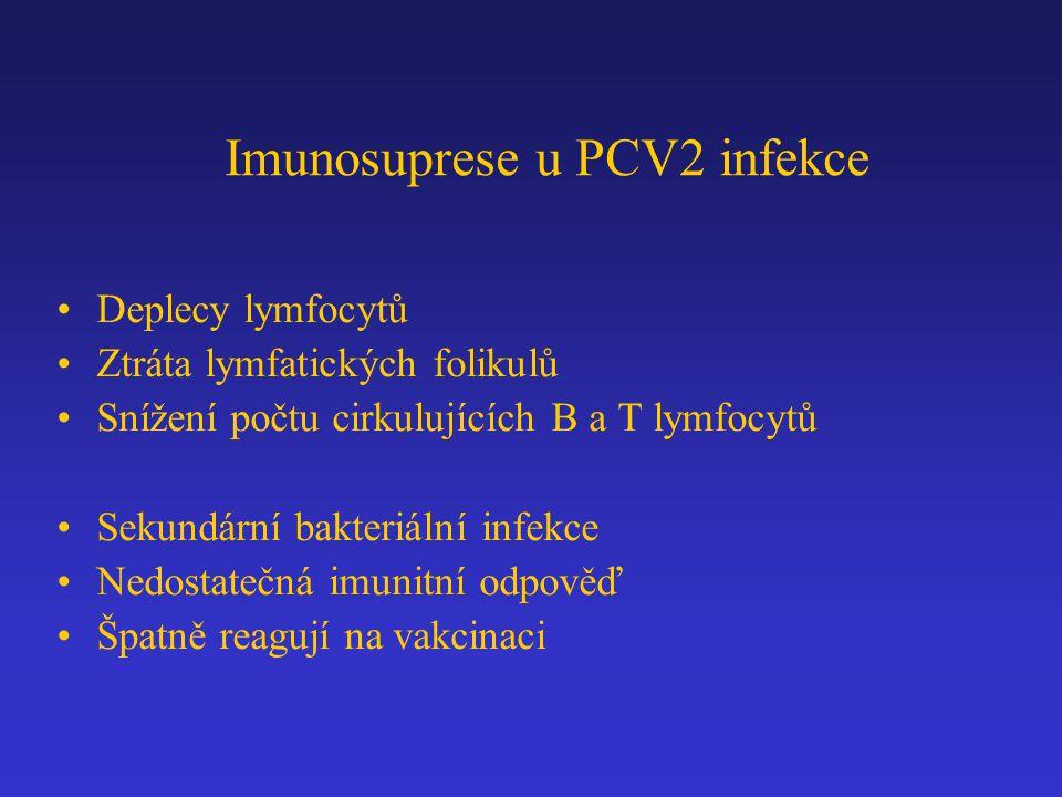 Imunosuprese u PCV2 infekce Deplecy lymfocytů Ztráta lymfatických folikulů Snížení počtu cirkulujících B a T lymfocytů Sekundární bakteriální infekce