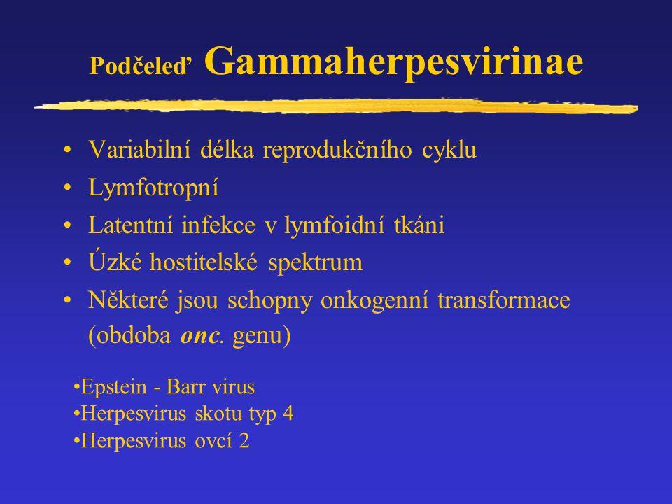 Podčeleď Gammaherpesvirinae Variabilní délka reprodukčního cyklu Lymfotropní Latentní infekce v lymfoidní tkáni Úzké hostitelské spektrum Některé jsou