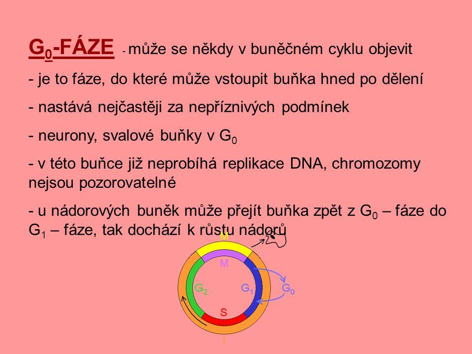 G 0 -FÁZE - může se někdy v buněčném cyklu objevit - je to fáze, do které může vstoupit buňka hned po dělení - nastává nejčastěji za nepříznivých podm
